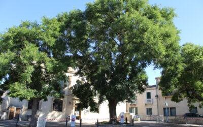 Le grand Sophora situé devant la médiathèque Léon Guizard doit malheureusement être abattu